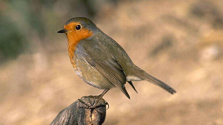 Petirrojo europeo. (SEO/Birdlife)
