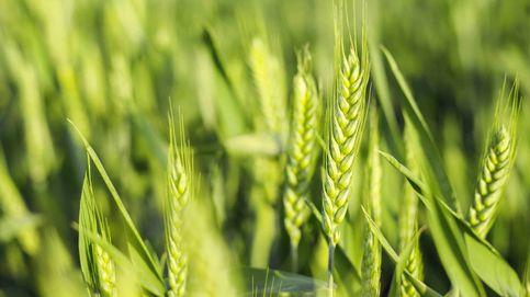 Qué diferencia hay entre el trigo duro y el normal