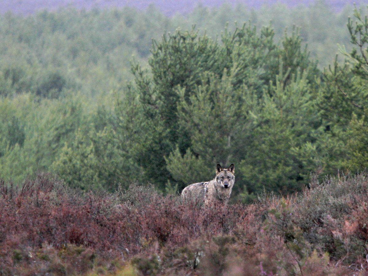 Foto: Observación de lobo ibérico en Zamora (Foto: Andoni Canela)