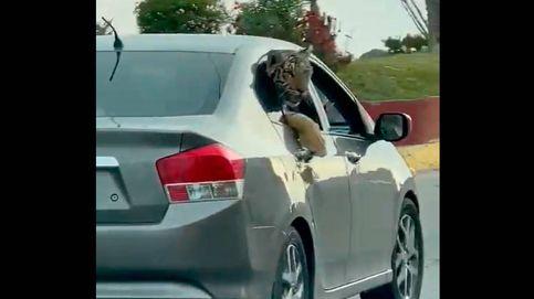 Pasean un tigre de bengala en un coche con las ventanillas bajadas en México