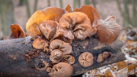 Oreja de madera, el hongo comestible más extravagante de la cocina asiática