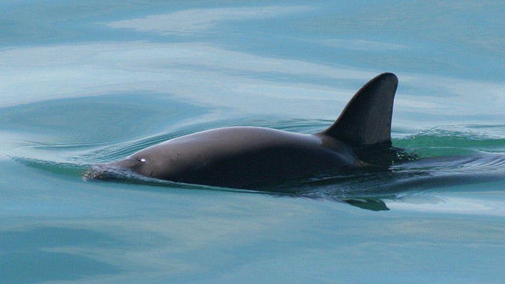 La 'cocaína del mar' acaba con los últimos ejemplares de vaquita