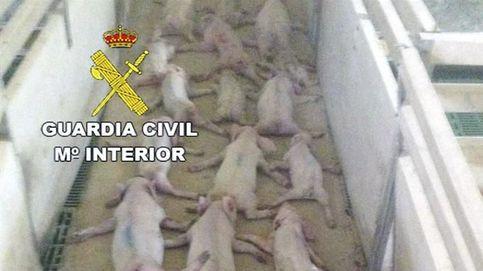 Dos jóvenes matan a 19 lechones saltando sobre ellos y lo difunden por WhatsApp
