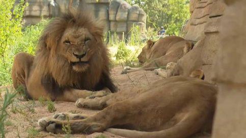 Los leones del Zoo de Barcelona estrenan un hábitat que simula la sabana africana