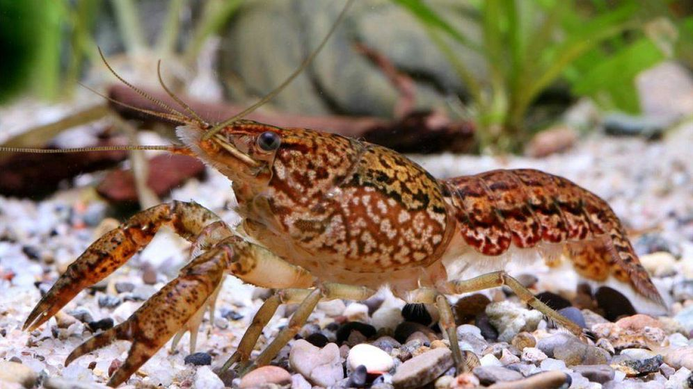 Foto: El misterio de la 'cangreja de mármol', el animal que se clona a sí mismo. (Reuters)