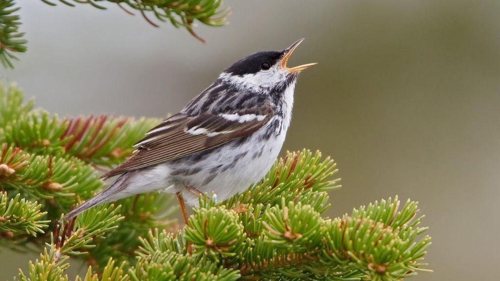 El viaje de un pájaro a lo largo de 3.000 kilómetros de océano