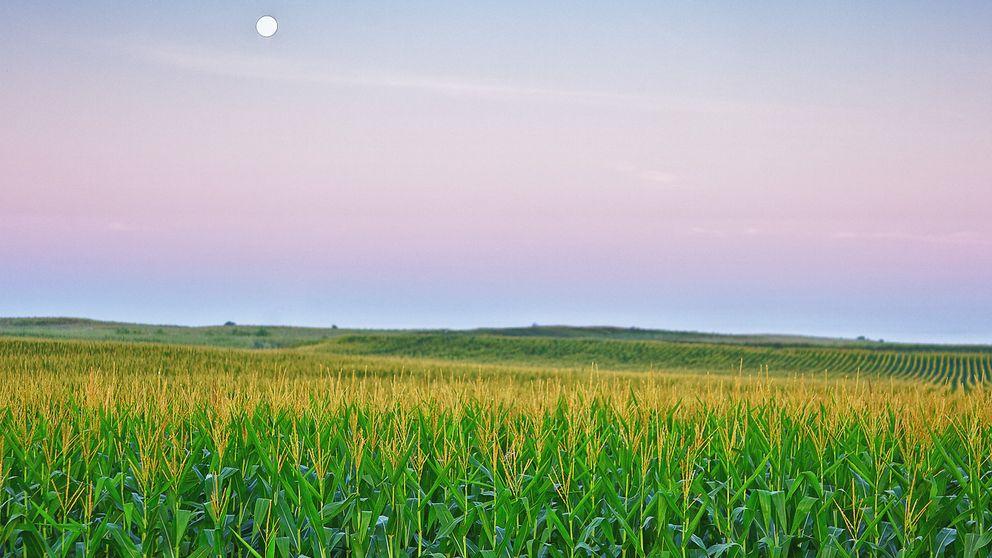 Este maíz transgénico español salvará millones de vidas en África