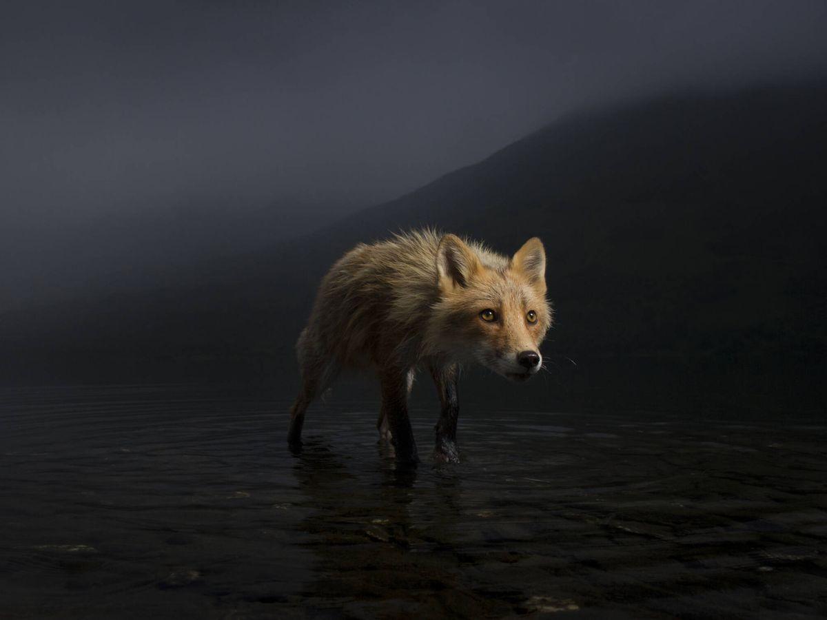 Foto: Un zorro busca salmones en Alaska. (Jonny Armstrong/Wildlife Photographer of the Year)