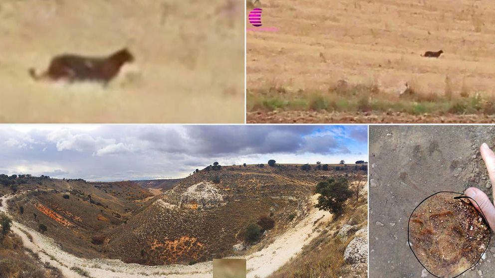 ¿Misterio resuelto? Un enorme perro asilvestrado es la pantera de Guadalajara