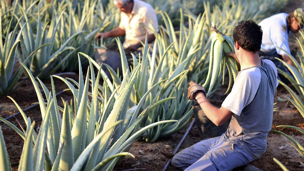 Foto: La planta de aloe vera es muy utilizada en el mundo de la cosmética