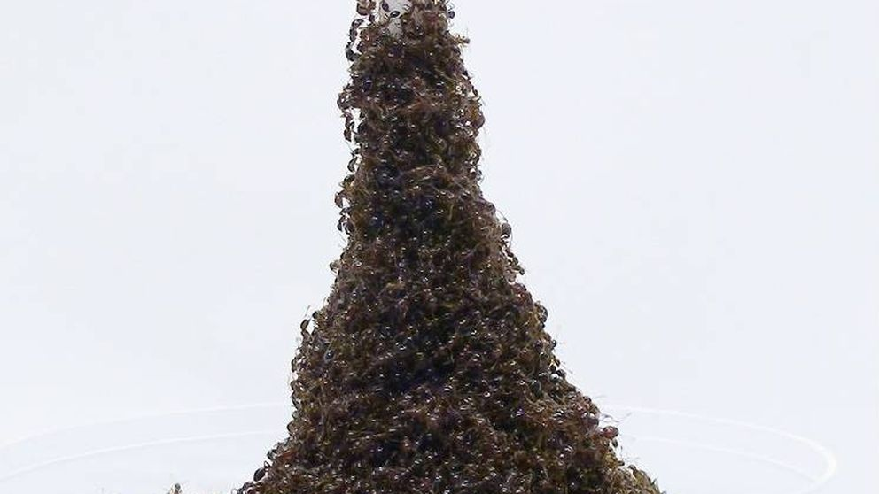 Estas hormigas son capaces de construir una 'Torre Eiffel' para escapar del peligro