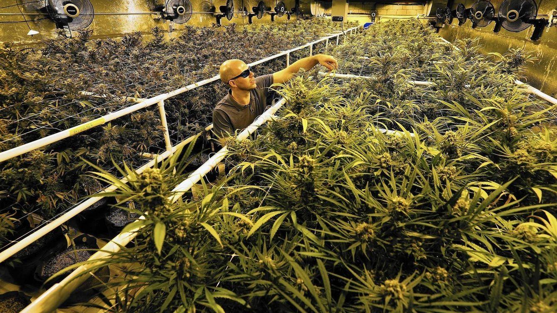 Cosechar marihuana en California: así gané 15.000 dólares en dos meses y medio