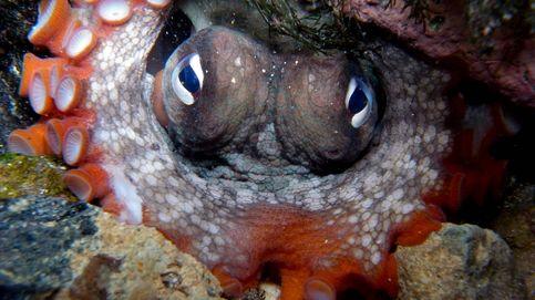 La extraña evolución del pulpo o por qué es un animal fascinante (y tú sin saberlo)
