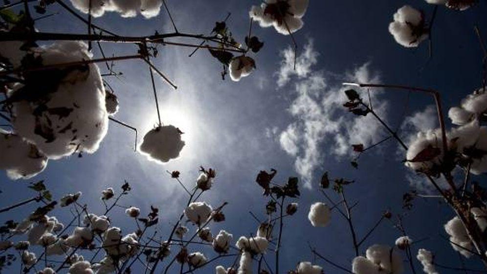 Foto: Planta de algodón. (EFE)