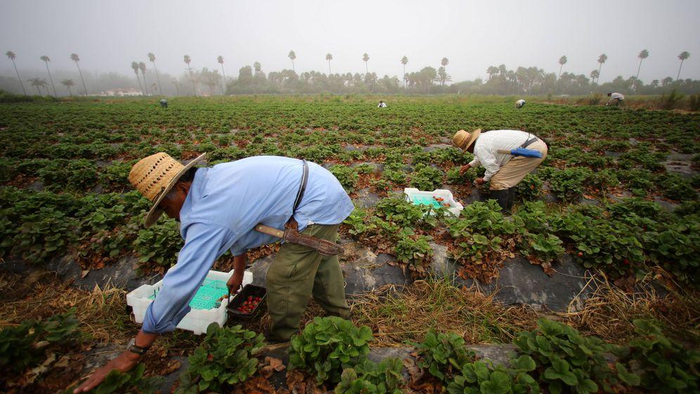 Foto: Trabajadores recolectan fresas en el Rancho Santa Fe, en California. (Reuters)
