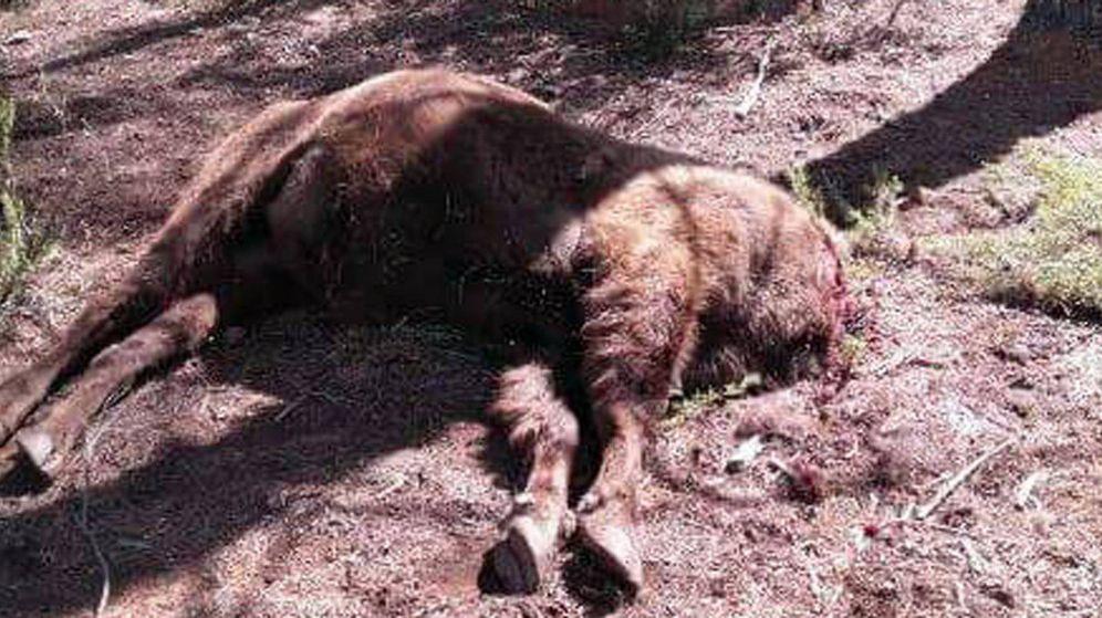 Foto: Imagen del bisonte decapitado. (Reserva de Valdeserrillas)