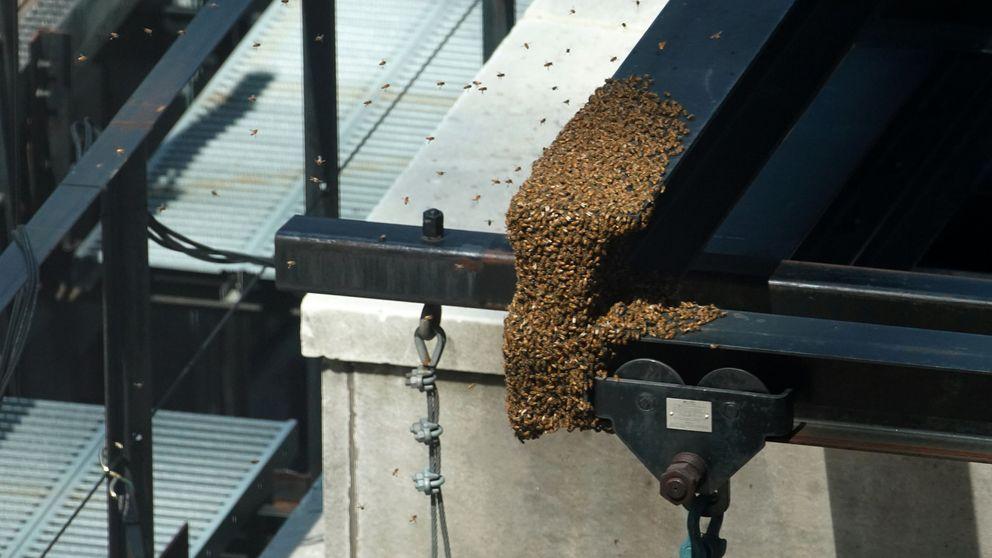 Rescate de un enjambre de abejas en Nueva York