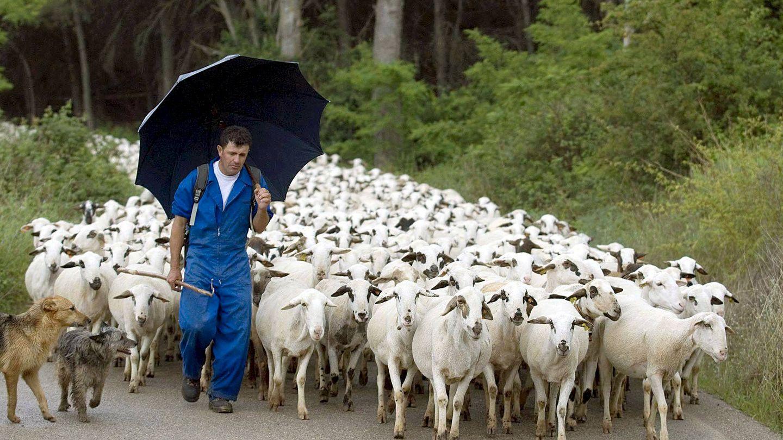 Un pastor con sus ovejas. (EFE)