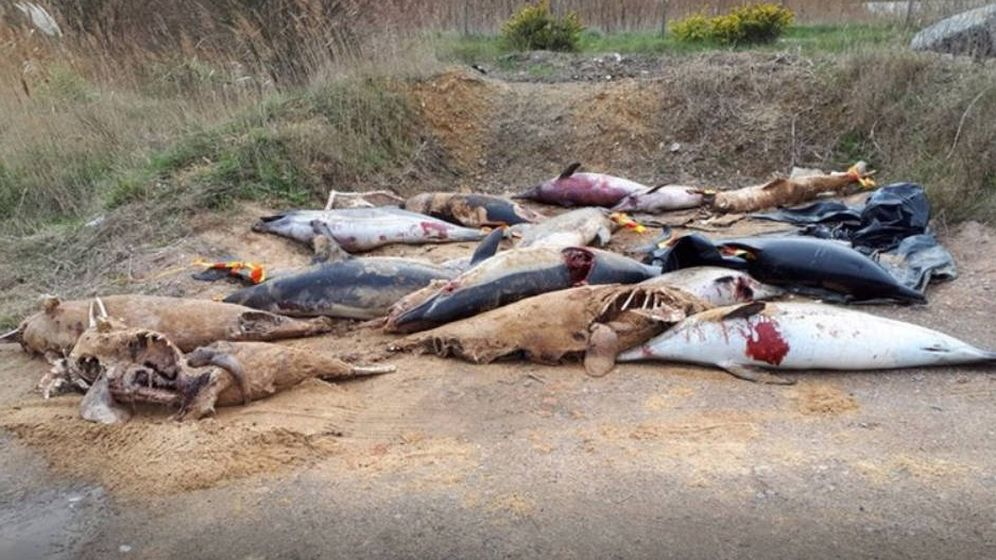 Foto: Los cuerpos mutilados de los últimos delfines encontrados en Francia (Foto: Sea Shepherd France)