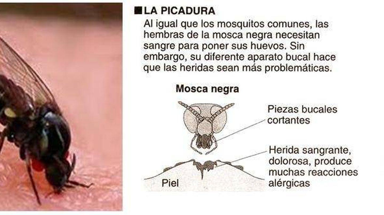 Mordedura de la mosca negra