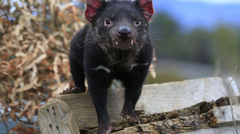 El demonio de Tasmania vuelve a la Australia continental tras 3.000 años