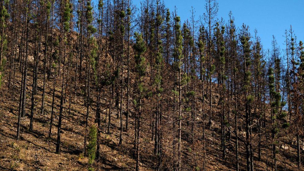 Foto:  Las cumbres de Gran Canaria muestran aún vastas extensiones de vegetación carbonizada. (EFE)