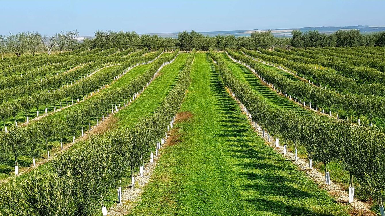 Una empresa catalana desarrolla un olivo que no necesita agua... ni subvenciones