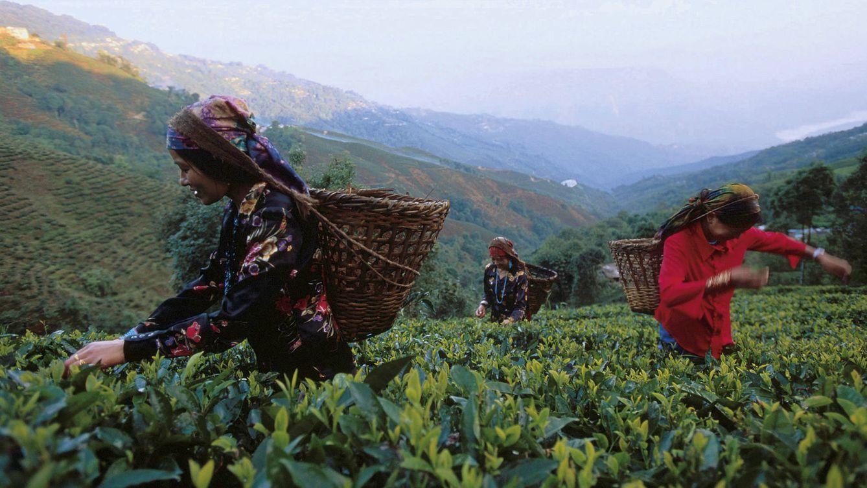 Foto: Trabajos de recolección de hojas de té en la plantación de Makaibari. (Thomas Goisque)