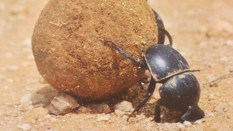 El escarabajo pelotero es uno de los insectos más afectados