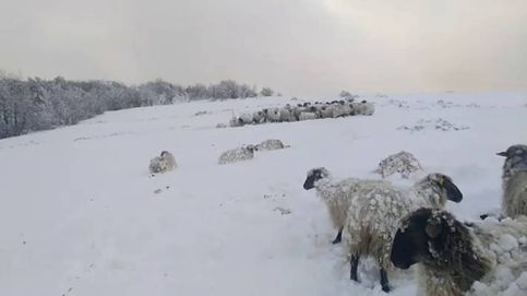 Más de 20 ovejas mueren sepultadas en la nieve por el ataque de perros domésticos