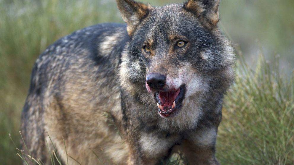 Decapitaciones y pirómanos: por qué España odia al lobo a muerte