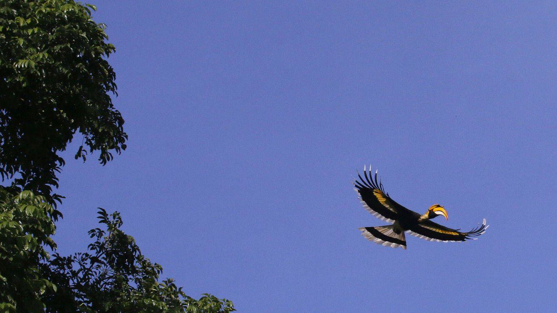 El cálao bicorne: un ave con casco y dos cuernos