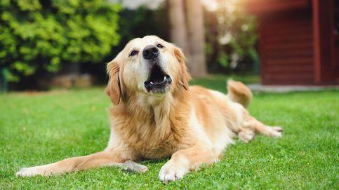 Cómo ladran los perros en diferentes idiomas: del 'haf-haf' al 'wai-wai'