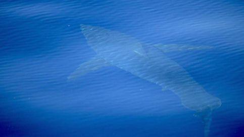 Avistan junto a Cabrera el primer tiburón blanco filmado en España en décadas
