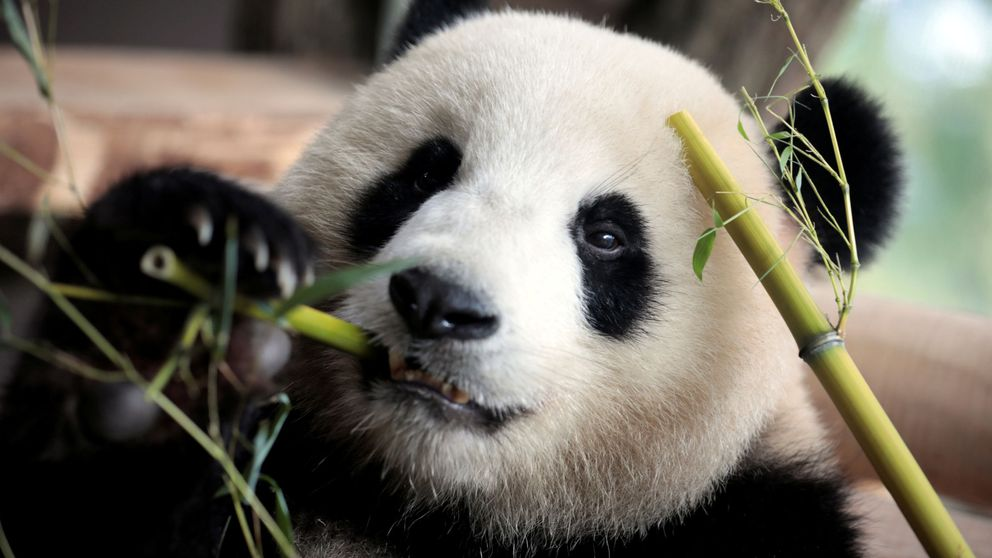 Ocho crías de oso panda dan la bienvenida al Año Nuevo Chino
