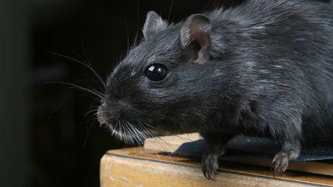 Madrid detecta una veintena de focos de rata negra: No se puede hablar de plaga