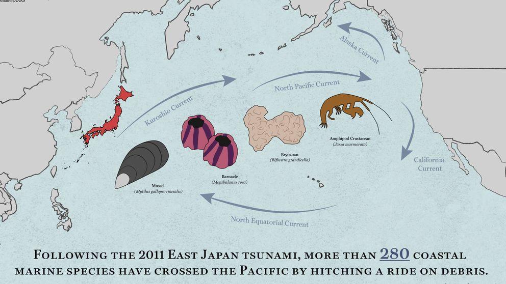 El tsunami de 2011 hizo que 289 especies cruzaran el Pacífico surfeando la basura