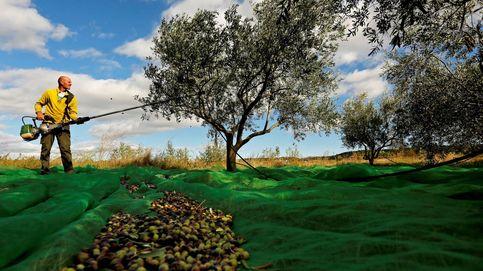 El Gobierno de Trump impone un arancel a la aceituna española por competencia desleal