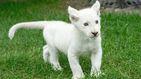 Nace el primer león blanco en cautividad en México