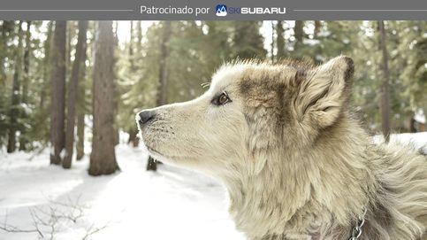 Ellos también disfrutan la nieve: la experiencia de esquiar con perros