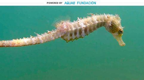 Caballito de mar: los machos son los que se quedan embarazados