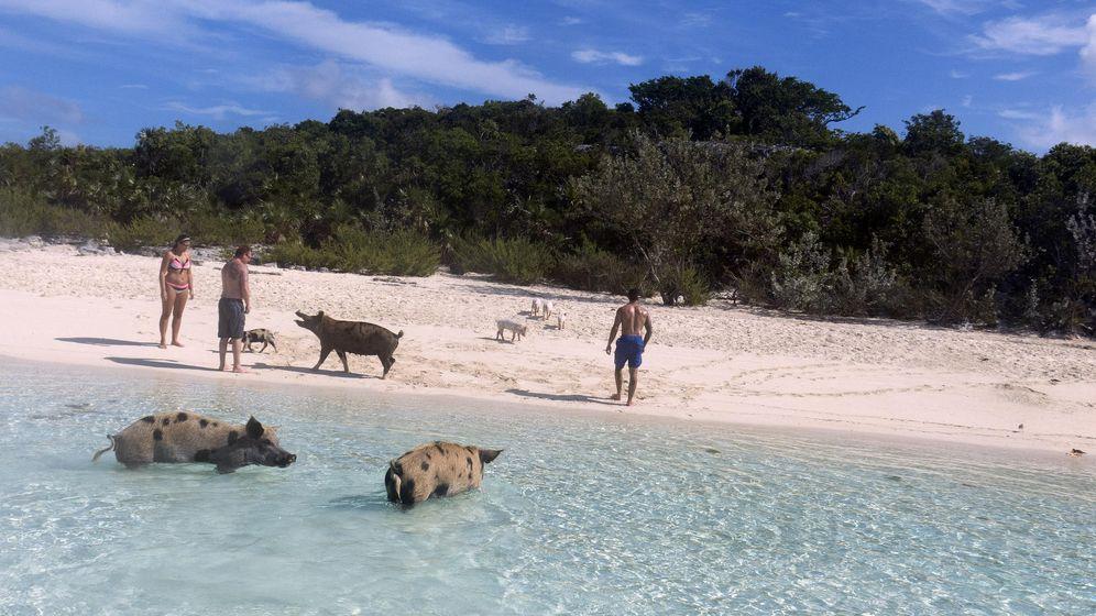Foto: Los turistas comparten playa con los cerdos (Flickr/Tam Warner Minton)