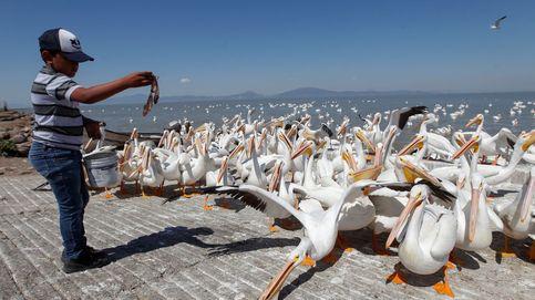 Pelícanos borregones, las aves que ayudan a un pueblo de México