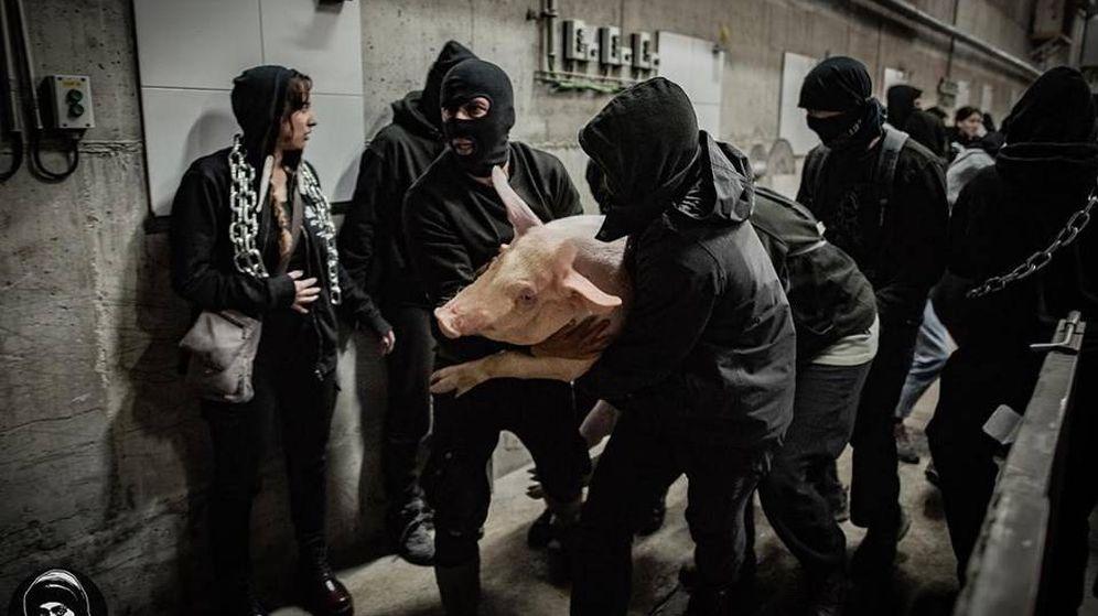 Foto: Un grupo de activistas 'libera' un cerdo de una explotación ganadera. (Mythical Mia)