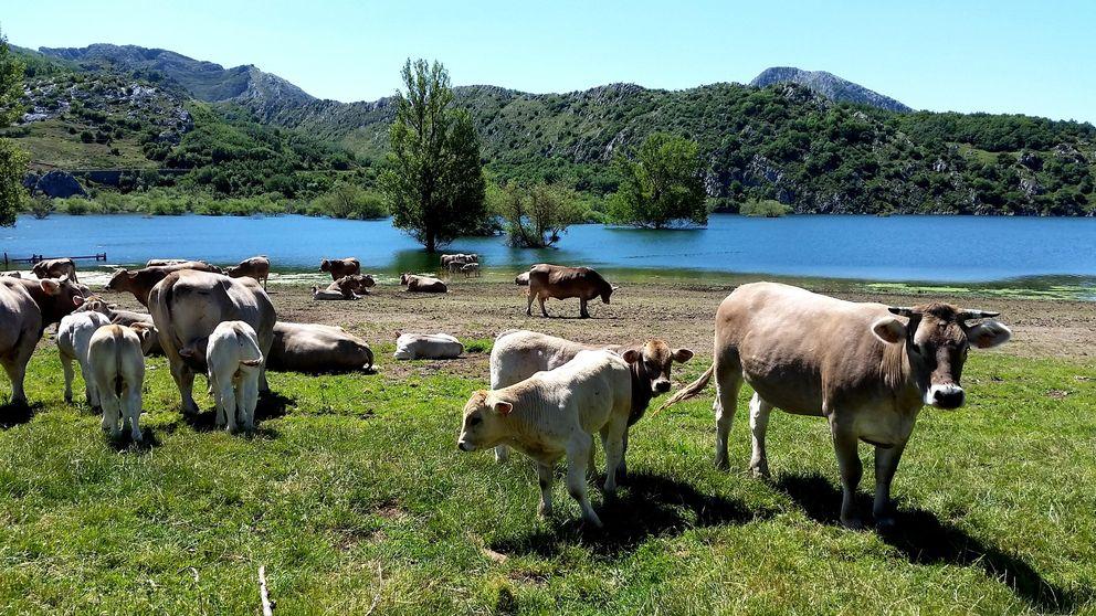 Valles del Esla, tierra de la mejor carne de buey