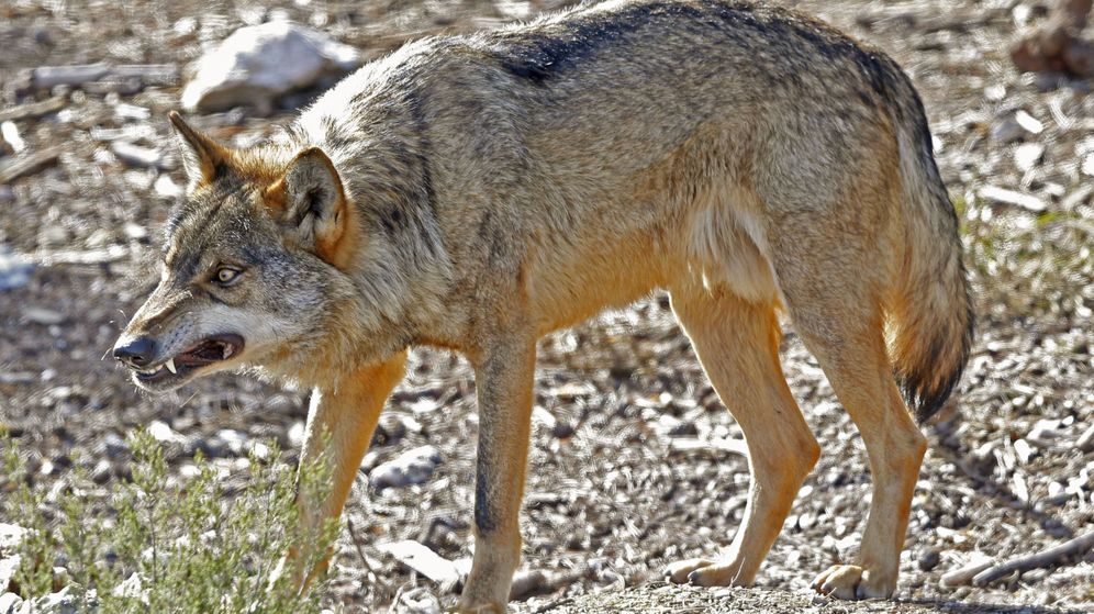 Foto: Ejemplar de lobo ibérico en semilibertad en el Centro del Lobo Ibérico, en Robledo, Zamora (J.J. Guillén / EFE)