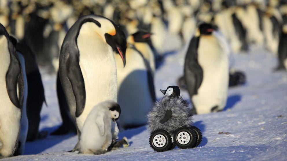 El pingüino emperador podría desaparecer a finales del siglo