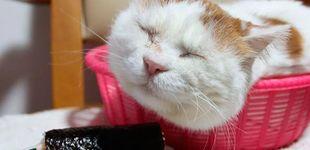 Post de Muere Shiro, el gato más tranquilo y relajado del mundo