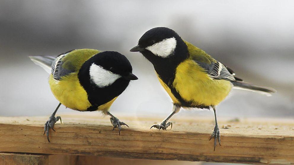 Los pájaros 'enamorados' prefieren estar con su pareja antes que comer