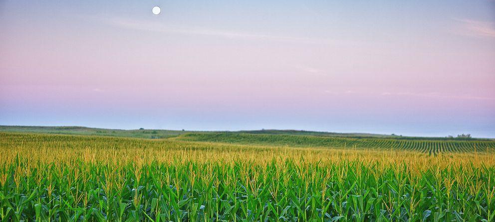 Foto: Este maíz transgénico español salvará millones de vidas en África (si le dejan)